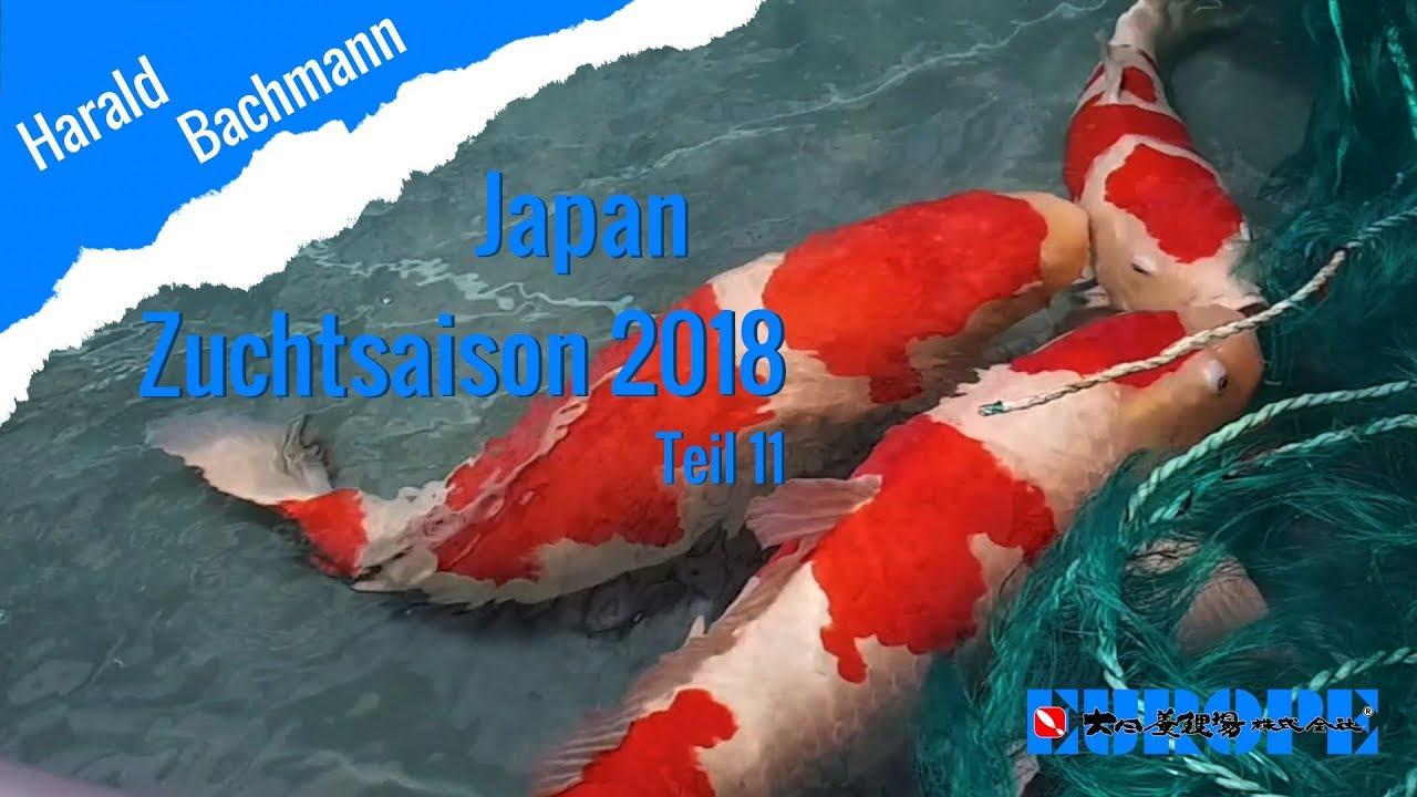 Zuchtsaison Nogami Koi Farm Teil 11