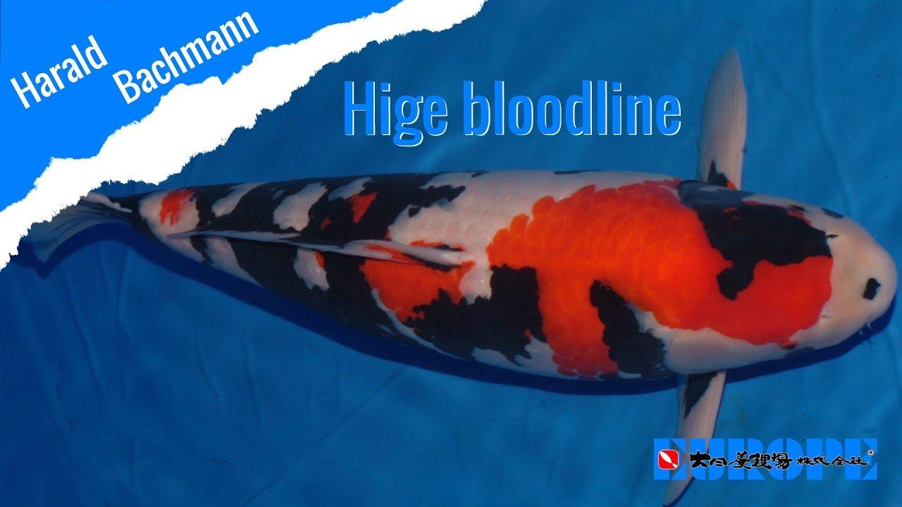 Hige bloodline