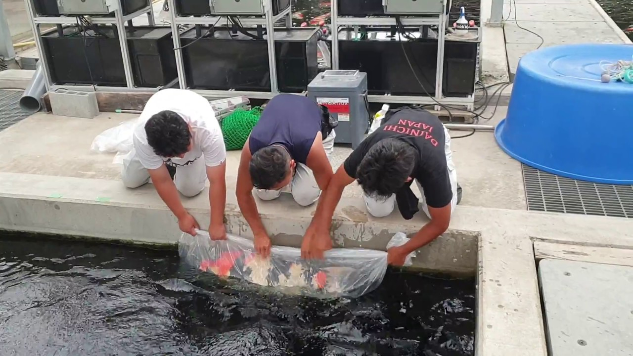 Ansetzen der Zuchtfische MicharaX, Super Kohaku und Mona Lisa