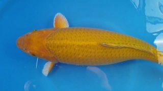 Dainichi Chagoi 16 months 56cm weiblich T6 -Ni-003
