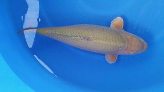 Dainichi Chagoi 16 months 59cm female T6 -Ni-022